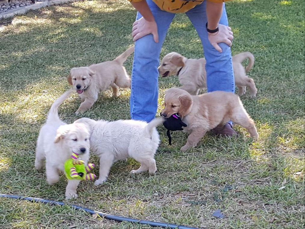 golden retriever texas central texas gorgeous goldens puppies for sale 4424