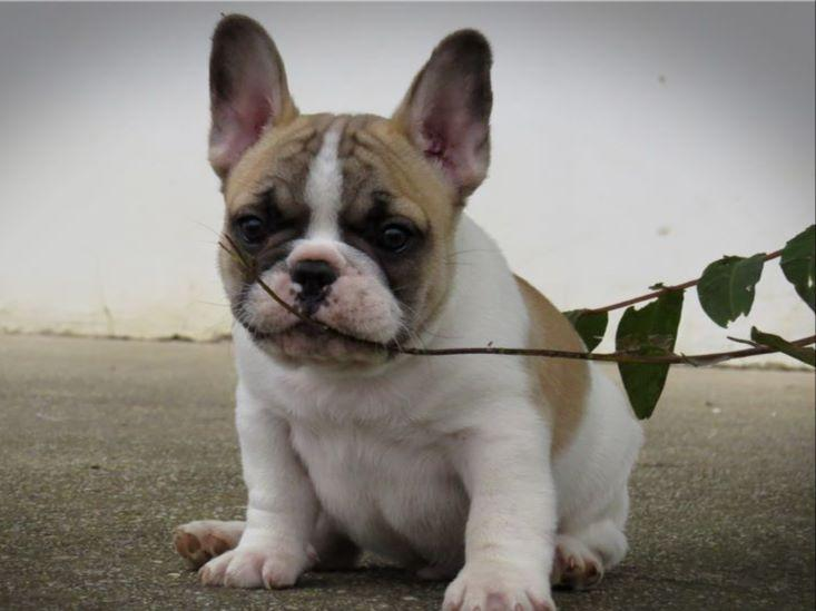 bulldog breeding for beginners the gallery for gt black and white pied french bulldog 4018