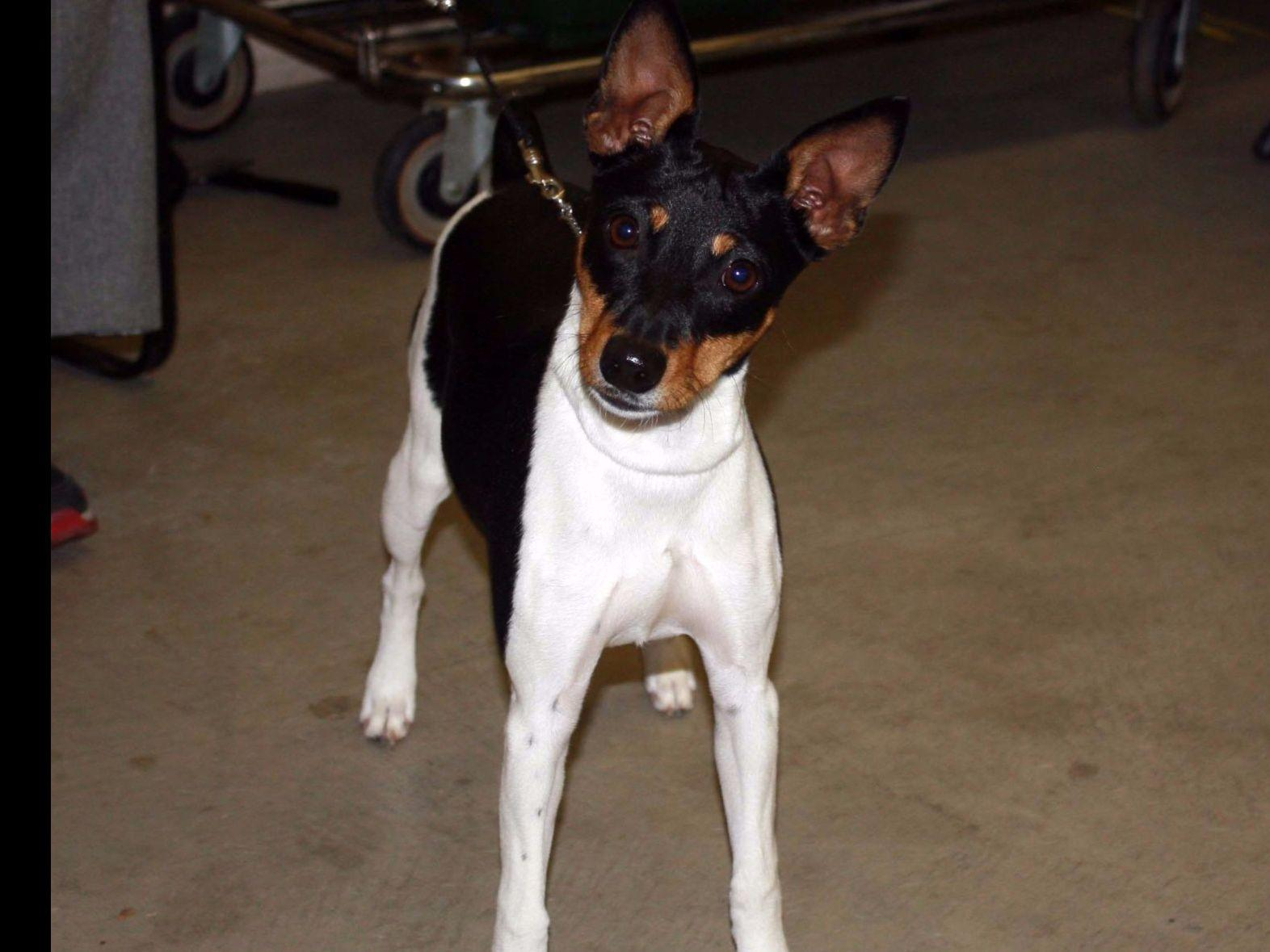 Rnbs Rat Terriers Puppies For Sale