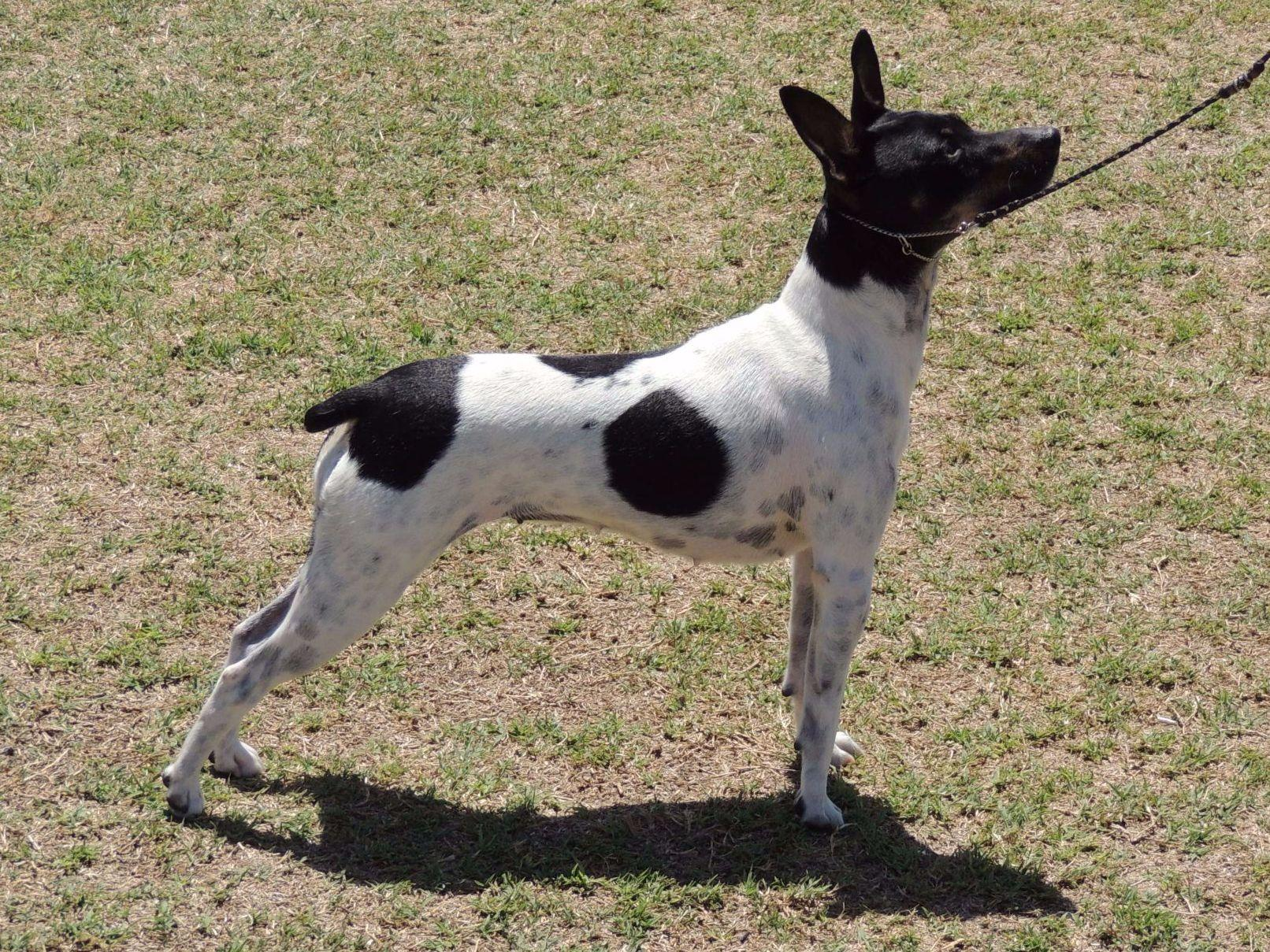akc rat terrier rnb s rat terriers puppies for sale 3934