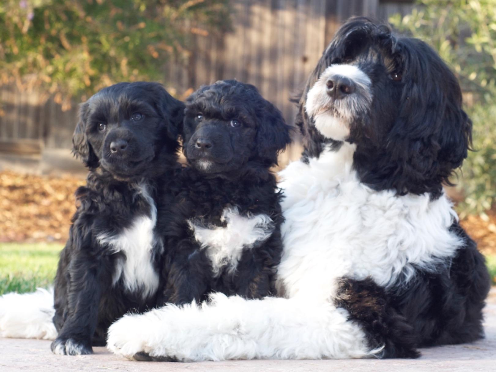 Surfari Portuguese Water Dogs Puppies For Sale