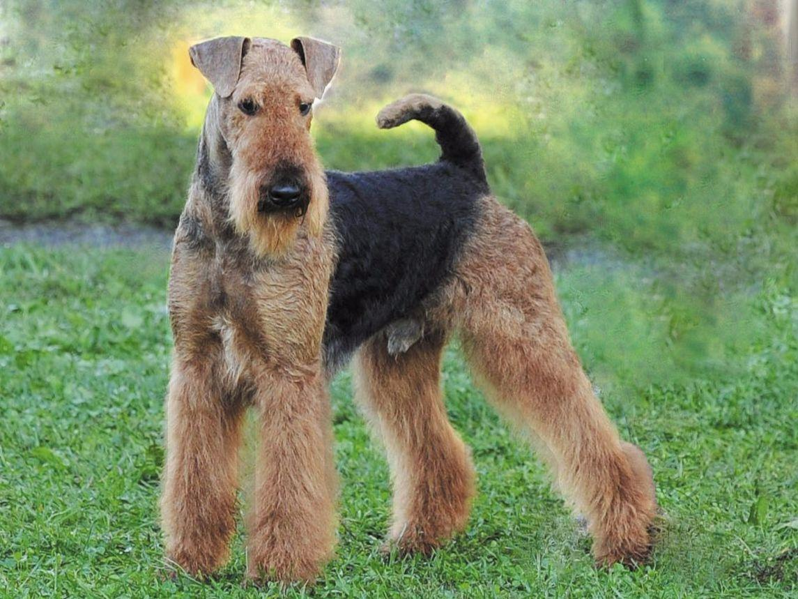 airedale terrier breeders airedale terrier puppies for sale akc marketplace 6926