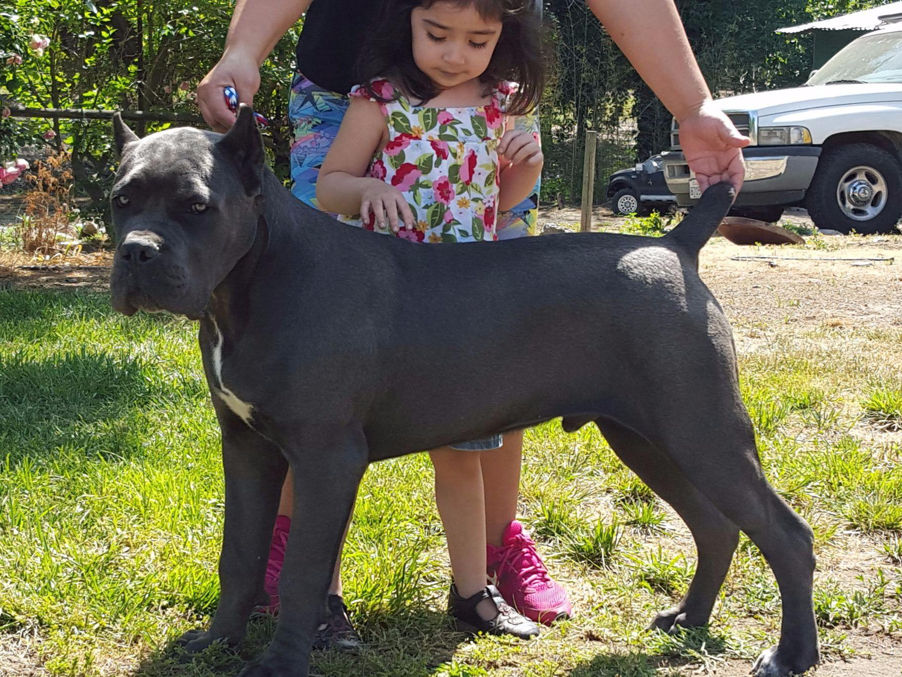 gladiator s quest cane corso   puppies for sale