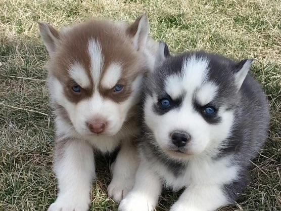 Red River Huskies Puppies For Sale