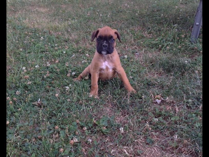 Boxer Puppies For Sale Akc Puppyfinder Autos Post