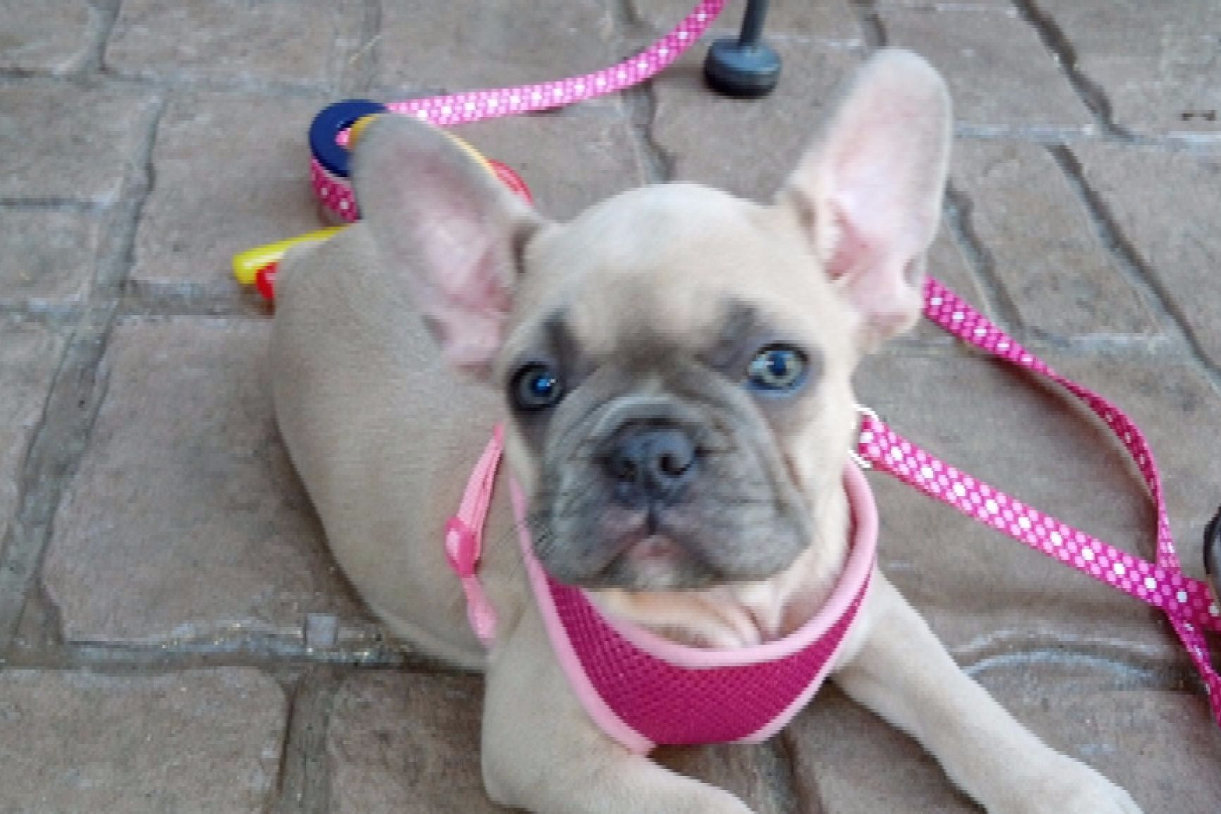 HORIZON FRENCHIES - Puppies For Sale