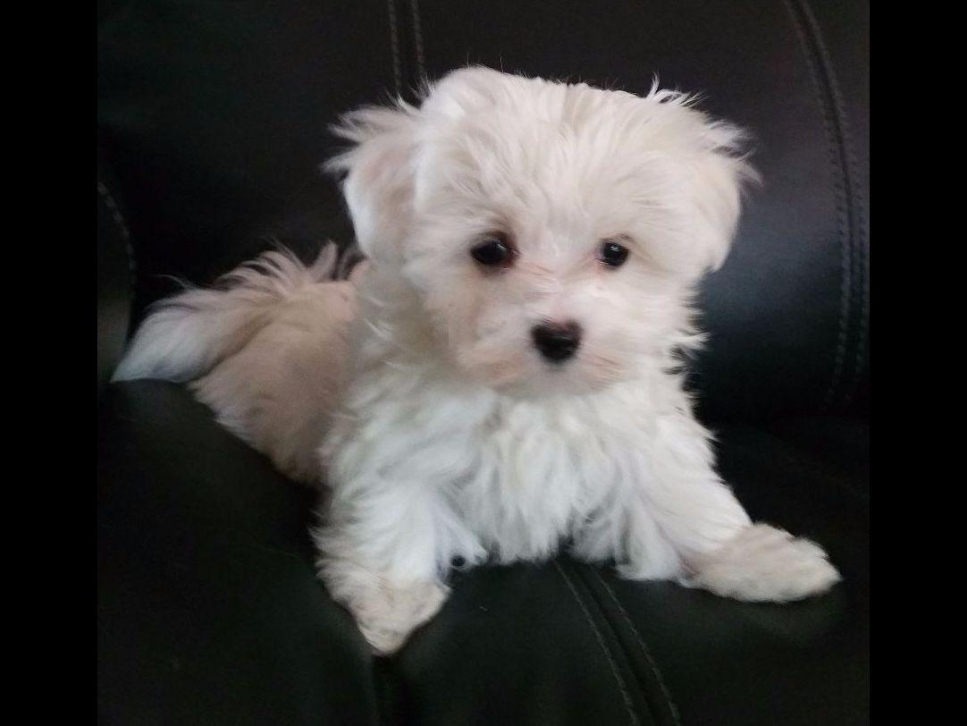 maltese breeders in michigan mi love maltese terri suter maltese puppies for sale 1999