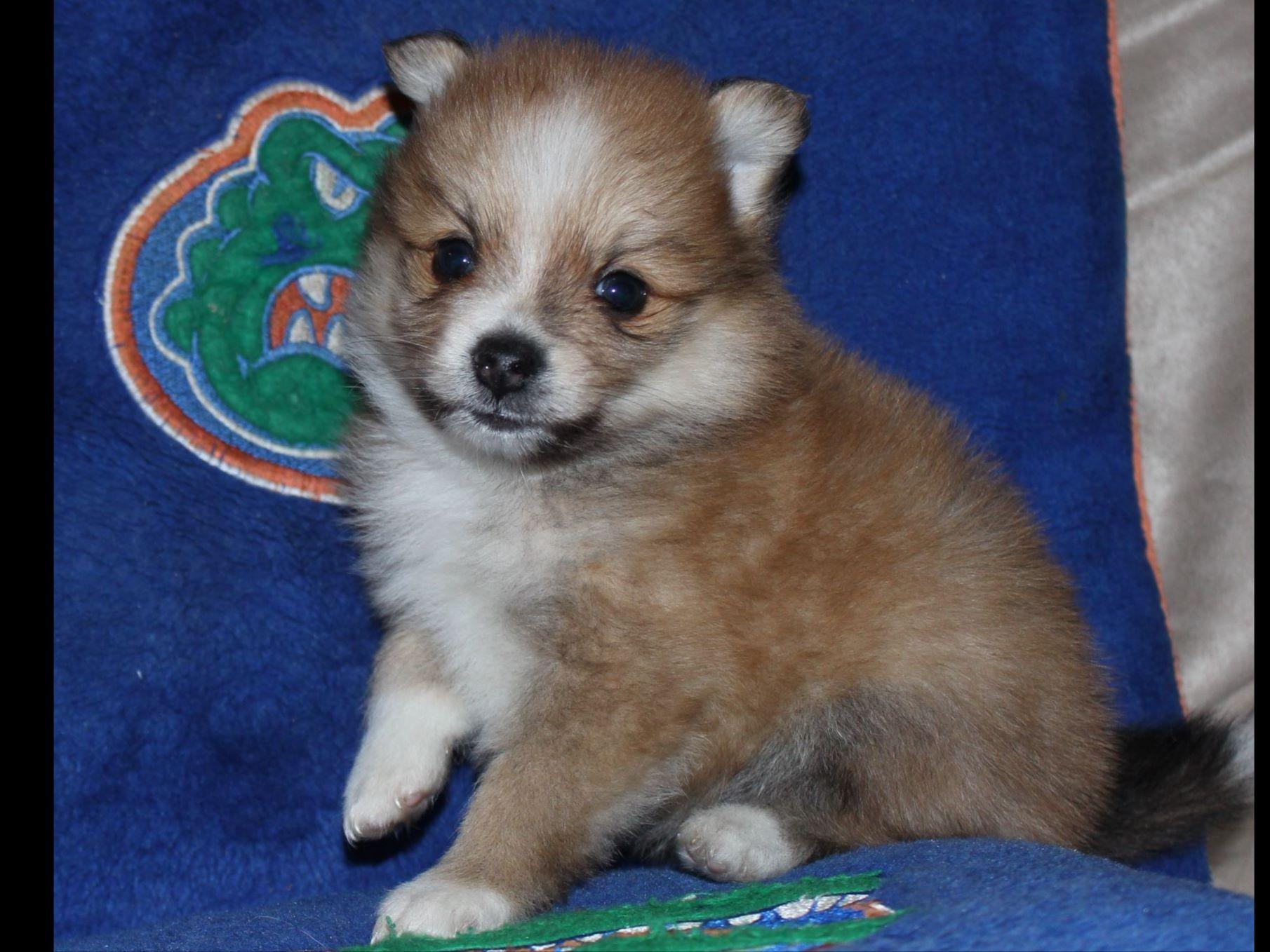 pomeranian club of america pomeranian for sale by tracy marinello american kennel club 729