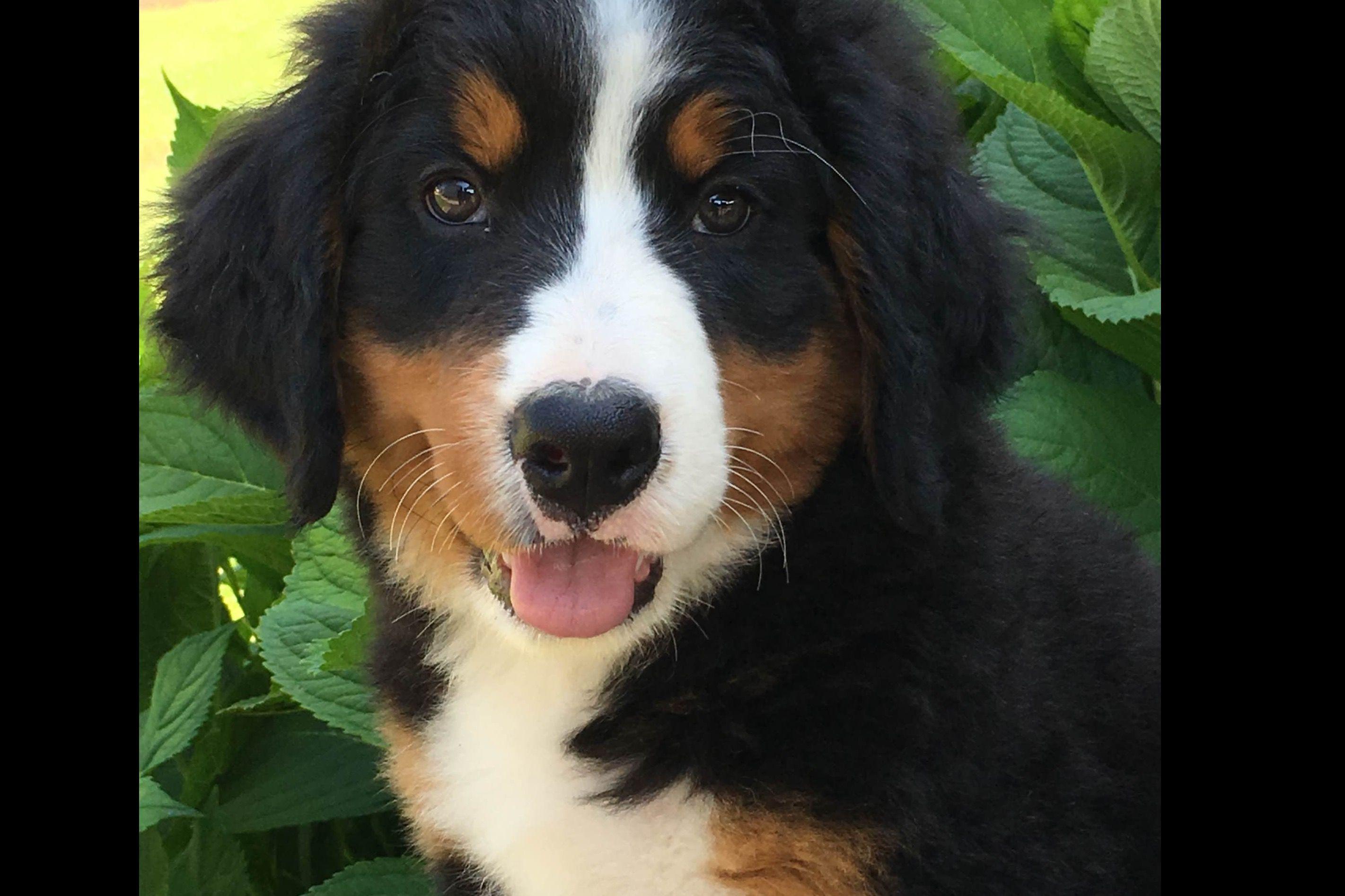Legacy Farmstead - Bernese Mountain Dog Puppies For Sale Czechia
