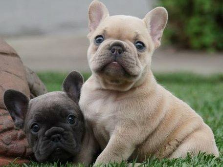 bulldog bay golden bay frenchies french bulldog puppies for sale 2047