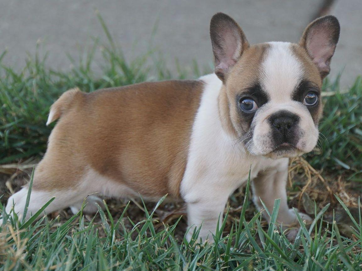 bulldog bay golden bay frenchies french bulldog puppies for sale 3307