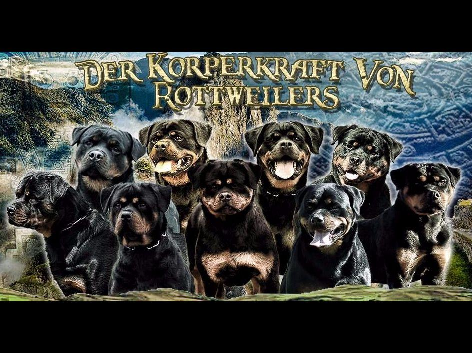 German Rottweiler Puppies For Sale Puppies For Sale