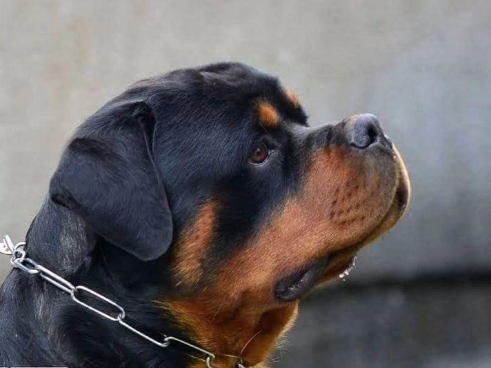 Valhalla Rottweilers Puppies For Sale