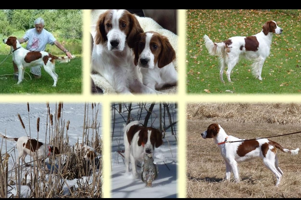 O'Dobhailien Irish Red And White Setters - Puppies For Sale