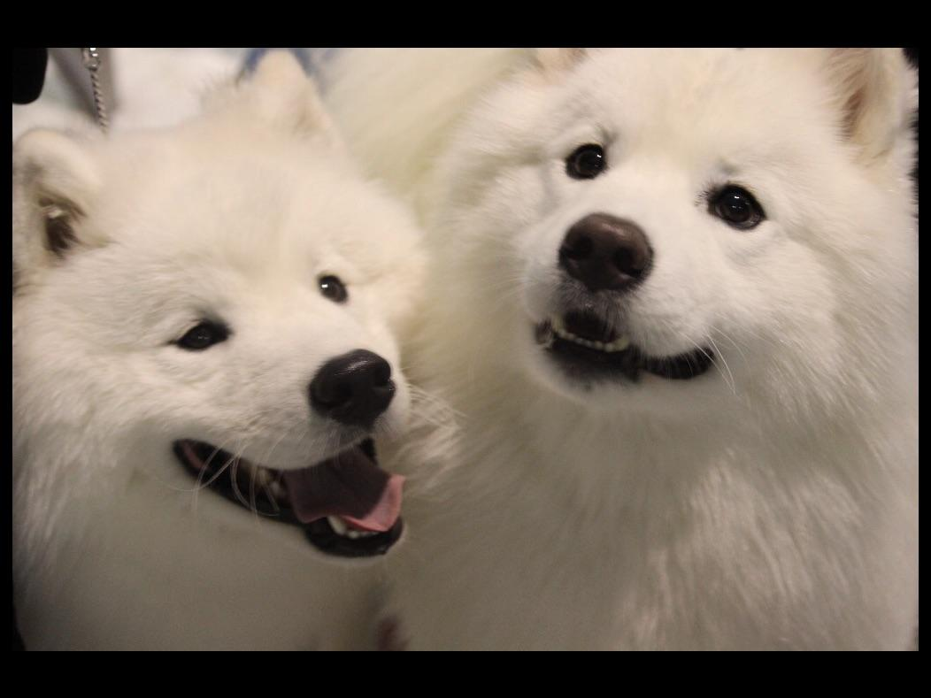 White Sapphire Samoyeds Inc Puppies For Sale