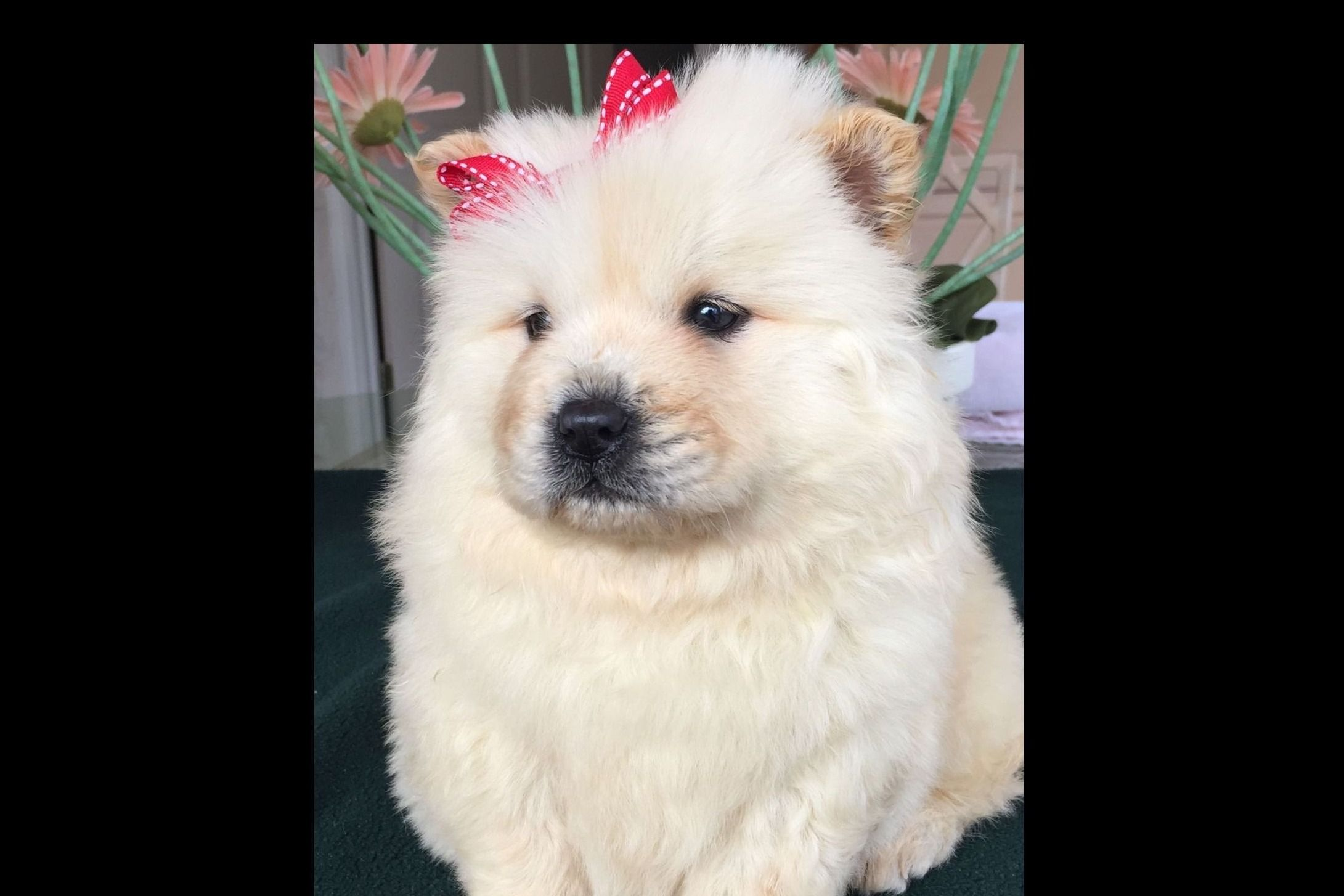 GERI McGHEE KENNELS 903-262-6654 - Chow Chow Puppies For