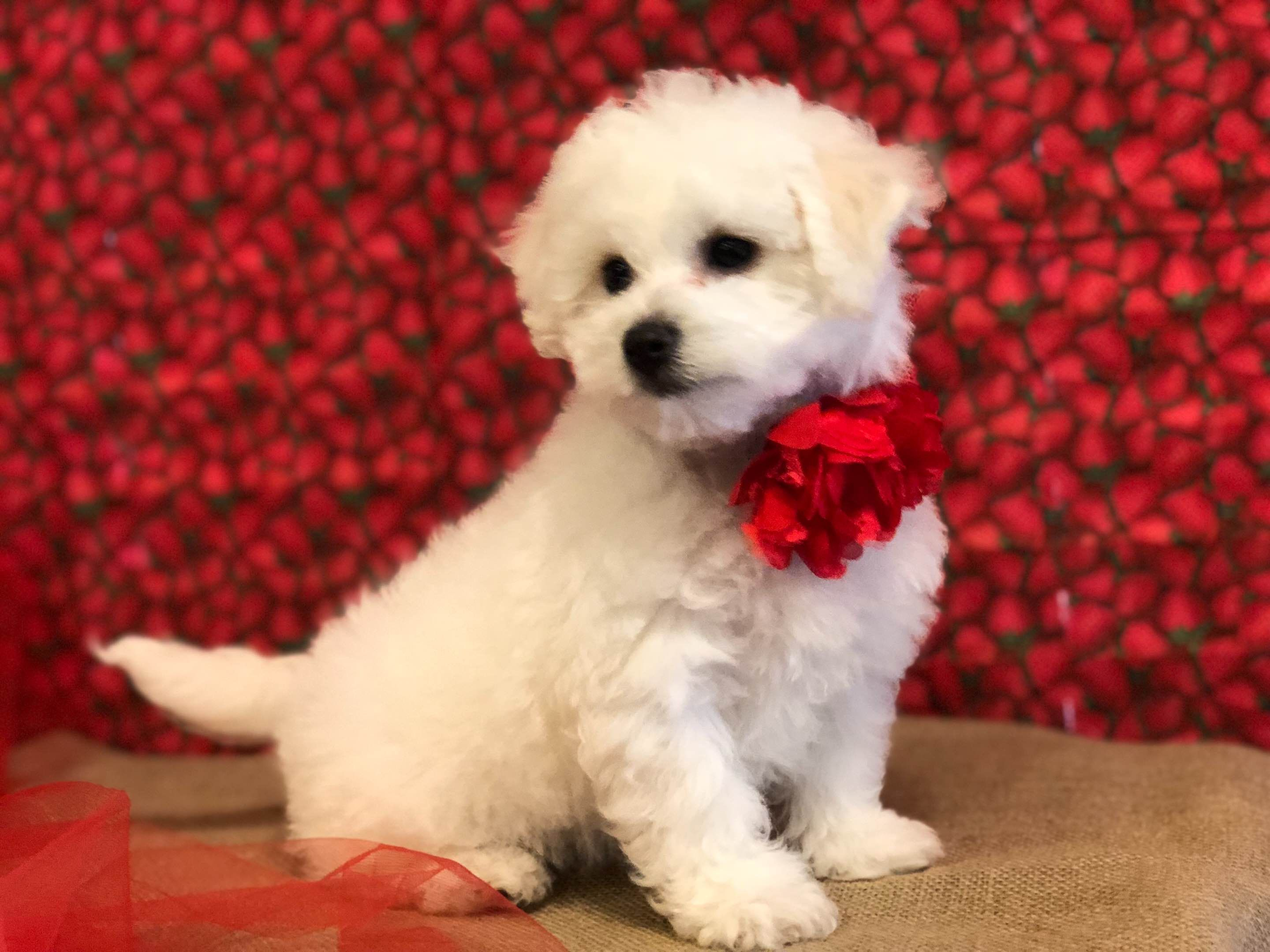 Precious Bichon Frise - Puppies For Sale