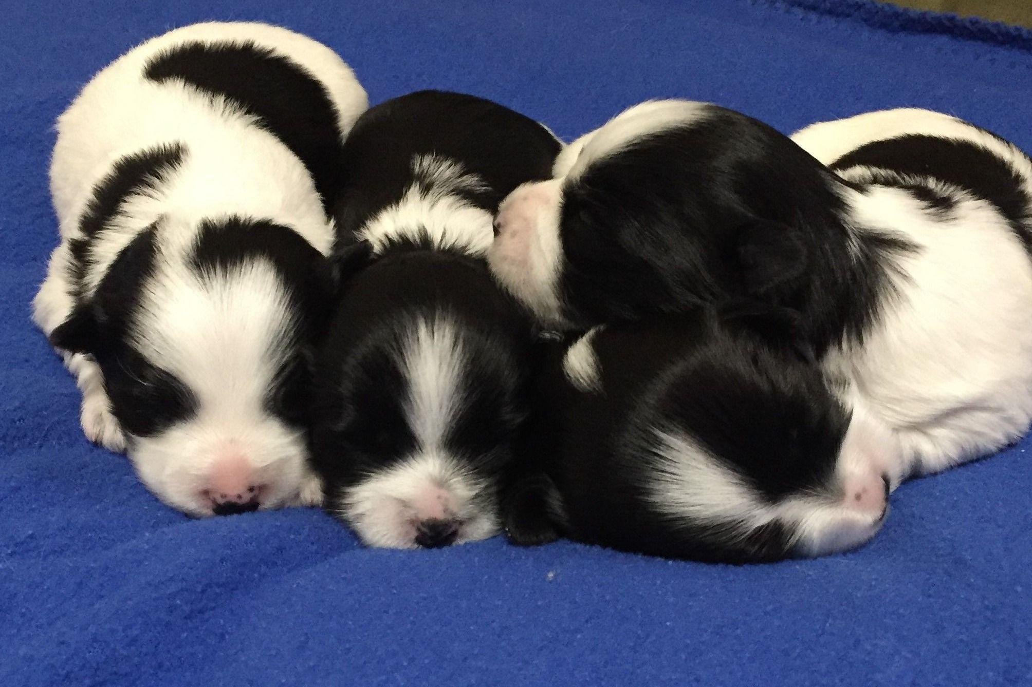 Rosalba Havanese Puppies For Sale