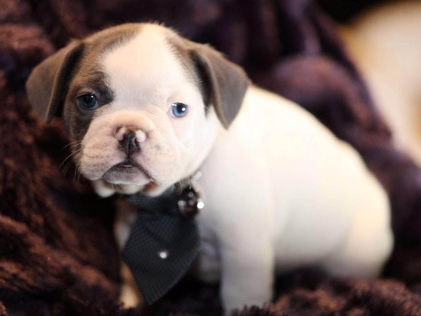 bulldog puppies florida florida blue french bulldogs french bulldog puppies for sale 6820