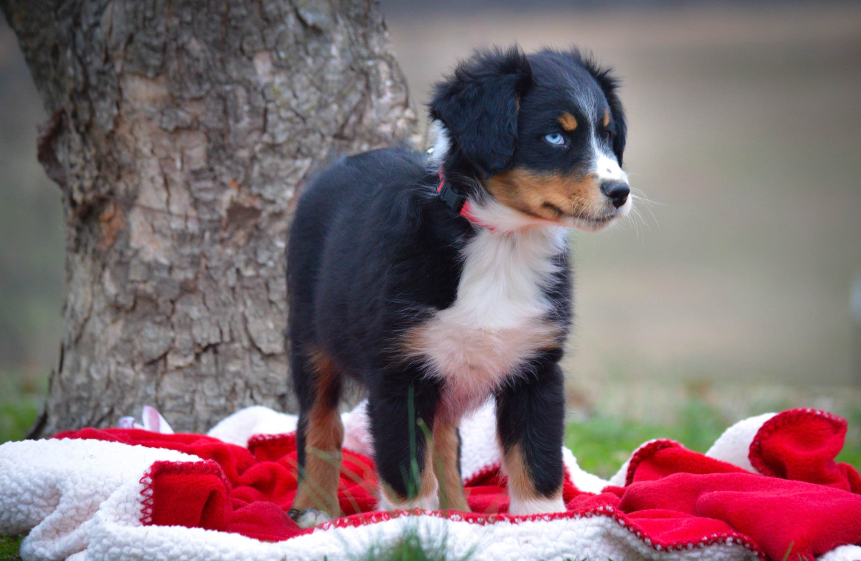 SunSet Ranch Aussies - Australian Shepherd Puppies For Sale In Philippines