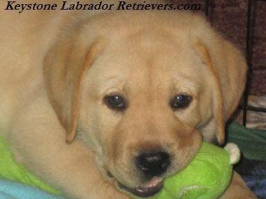 Keystone Labrador Retrievers Puppies For Sale