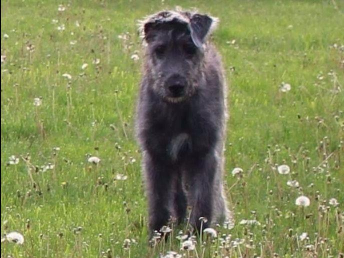Stormborn Irish Wolfho...