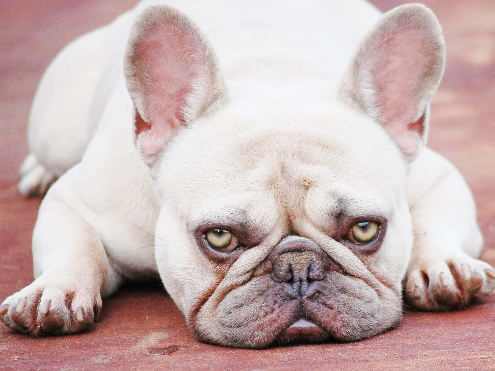 French Bulldog Texas - Puppies For Sale