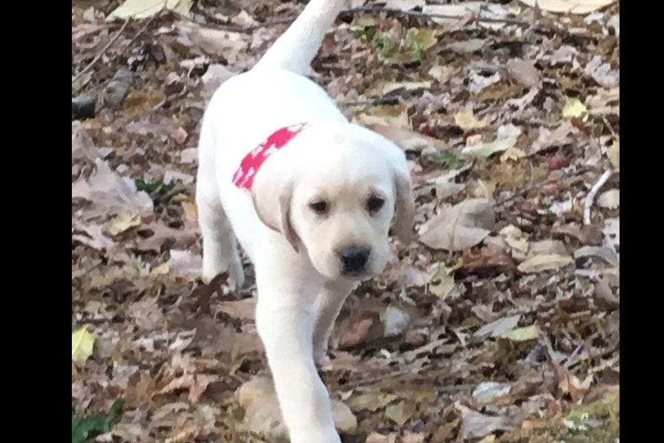 Outlaw Labrador Retrievers - Puppies For Sale