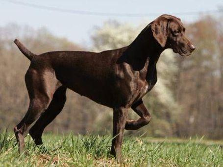 german shorthaired pointer puppies for sale in michigan mi karma german shorthaired pointers puppies for sale 9232