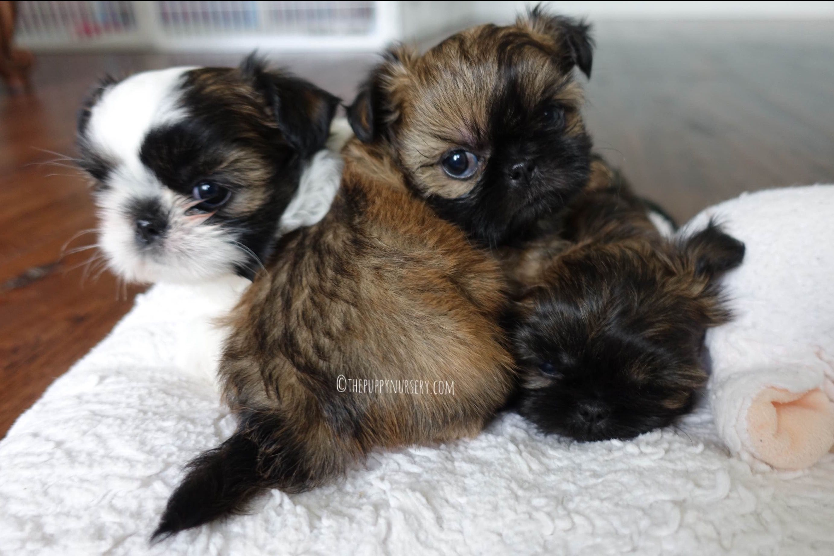 The Puppy Nursery - Puppies For Sale